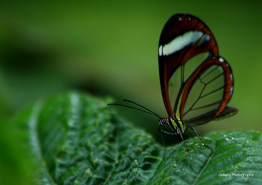 Papillon Greta Oto, TURRIALBA