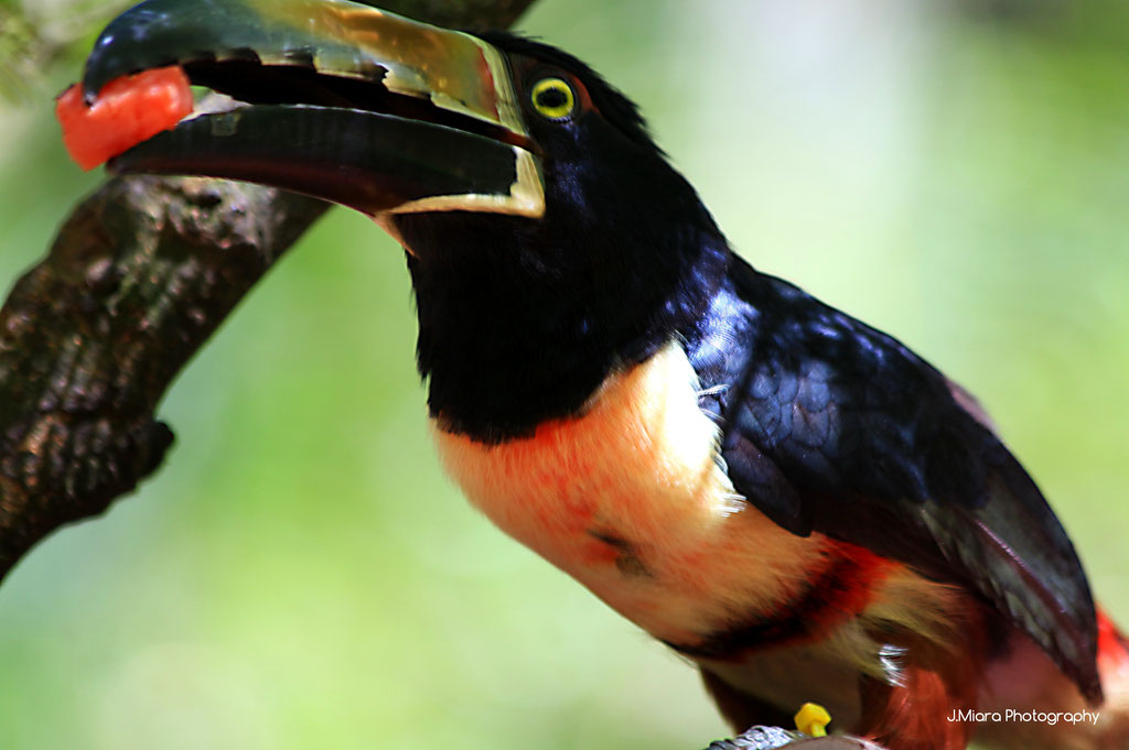 Toucan Aracari, Jaguar rescue center, MANZANILLO