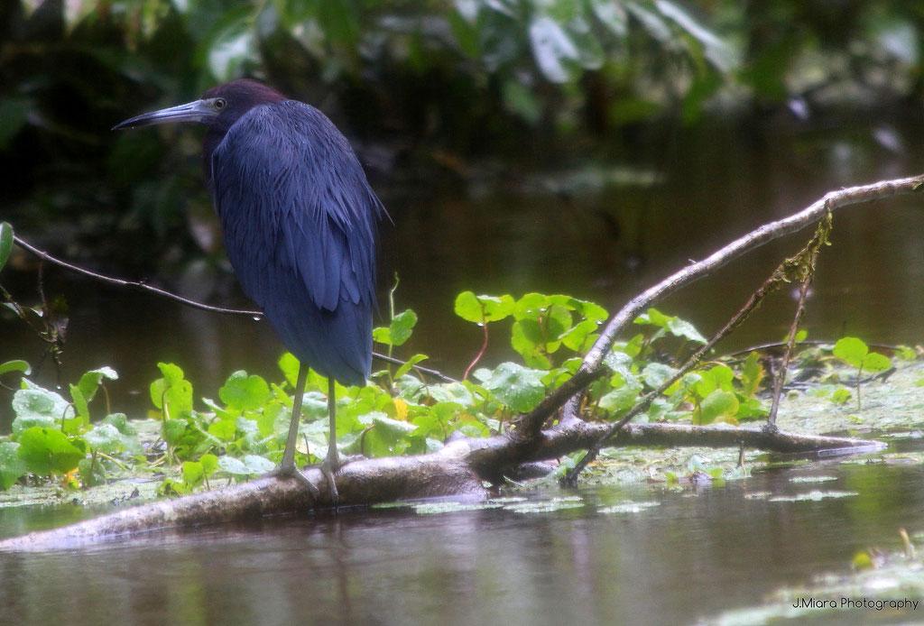 Petit heron bleu, TORTUGUERO
