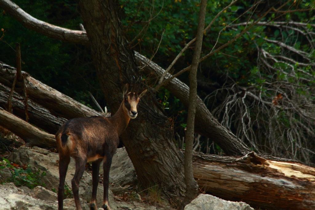 Chamois au bord des Gorges du Verdon, VERDON (FRANCE) missaventure blog