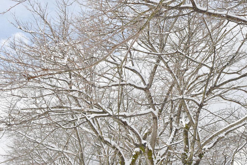 枝雪 しんしん
