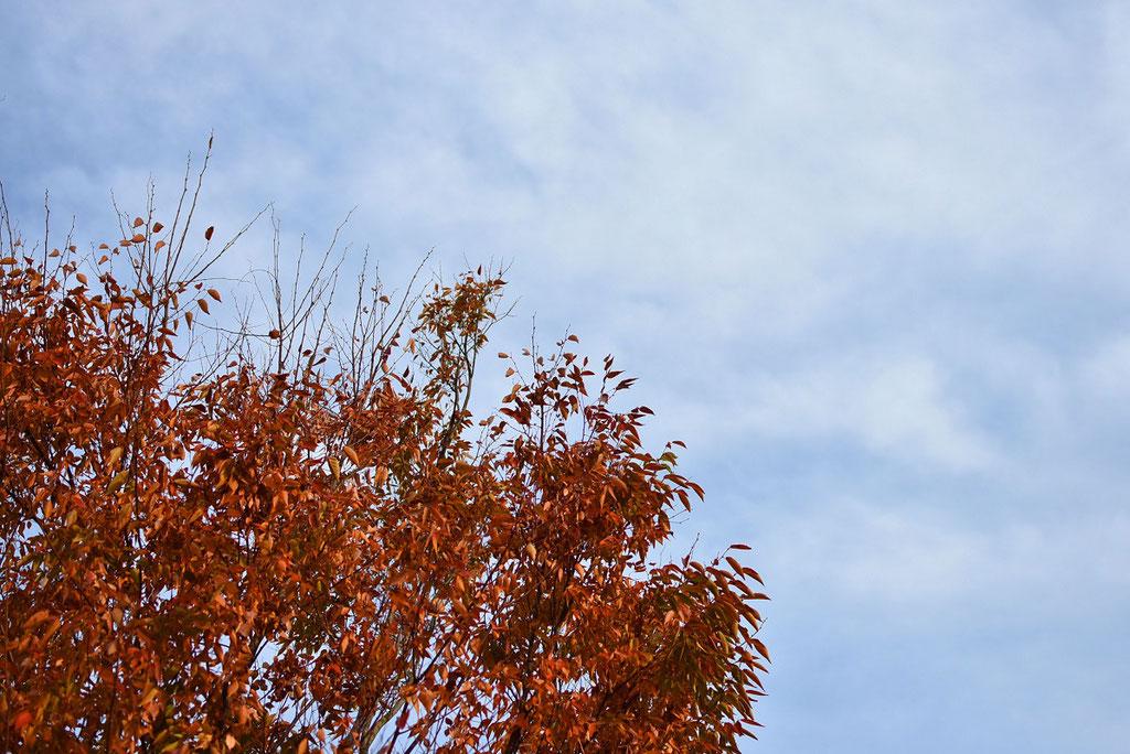 紅葉と秋の空のコントラスト。