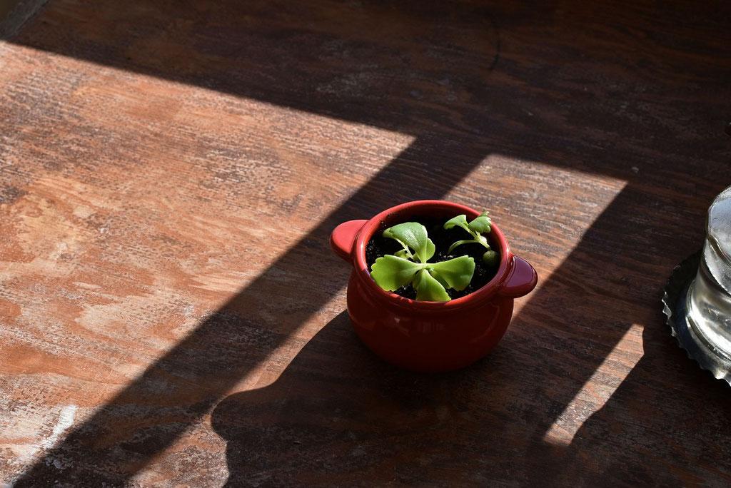 子宝草の小さな芽