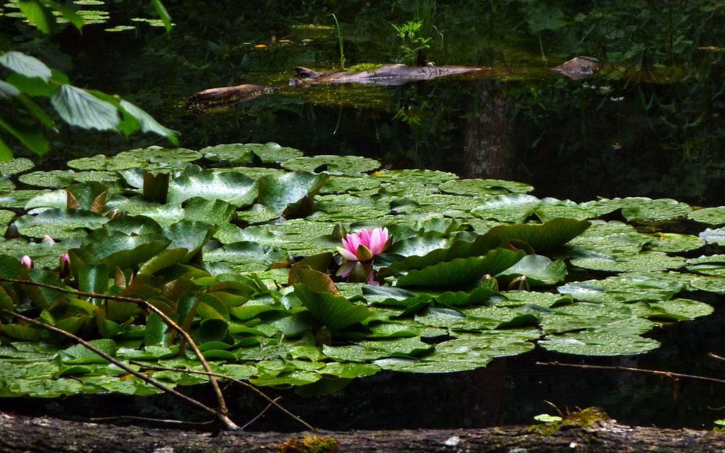 Teichbiotop beim Weidendom