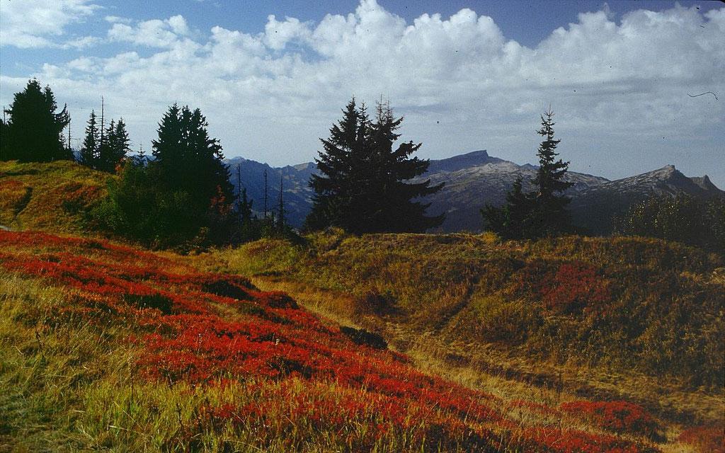 Heidelbeerstauden in herbstlicher Farbenpracht