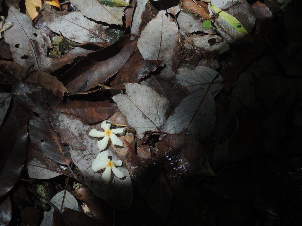 七曲がりを登っていると、足元に可愛い花びら。とっても良い香り。