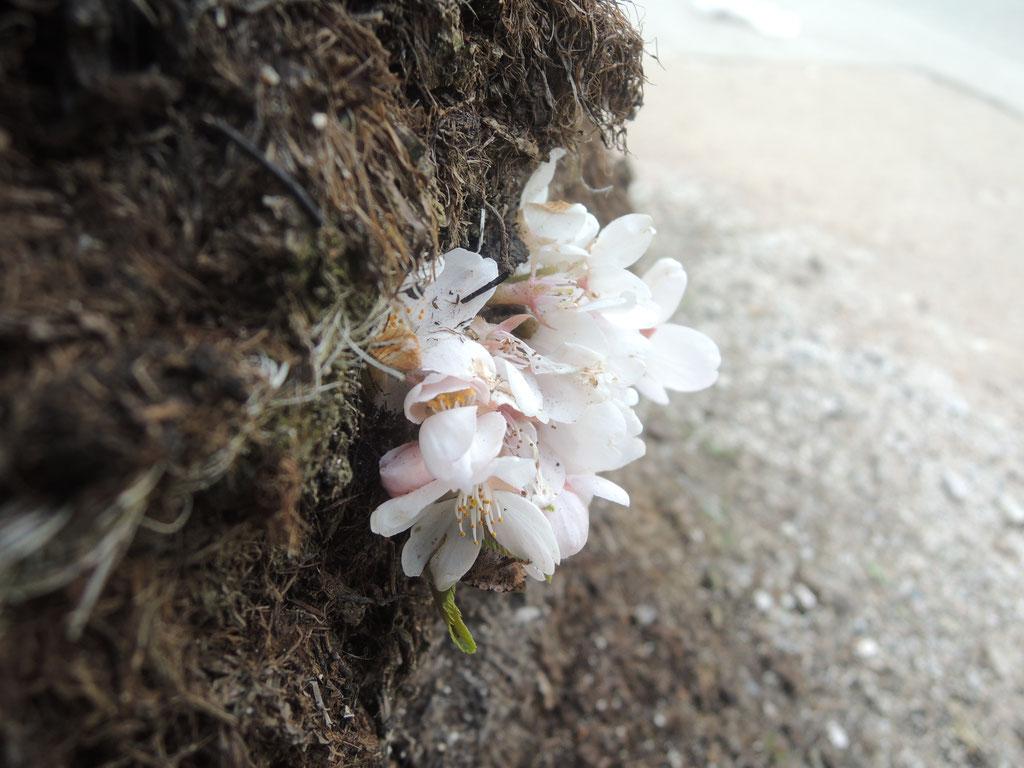 植樹して100年の老木のソメイヨシノ、幹の根本から花弁が☆