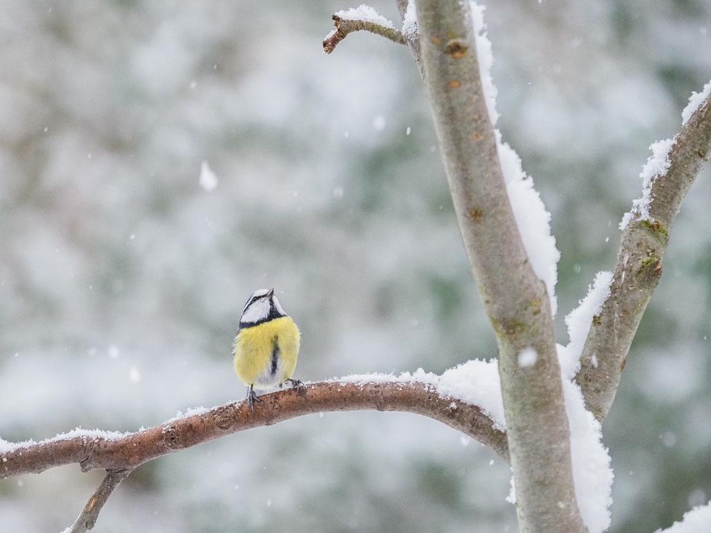 Blaumeise im ersten Schnee