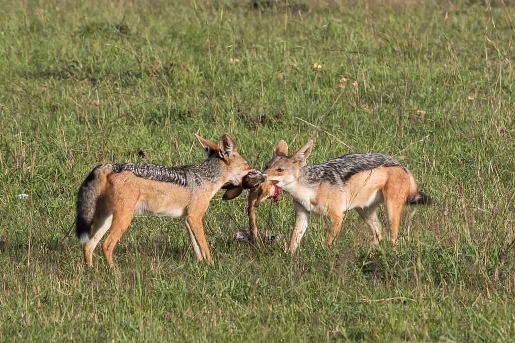 Schabrackenschakal - Kenia