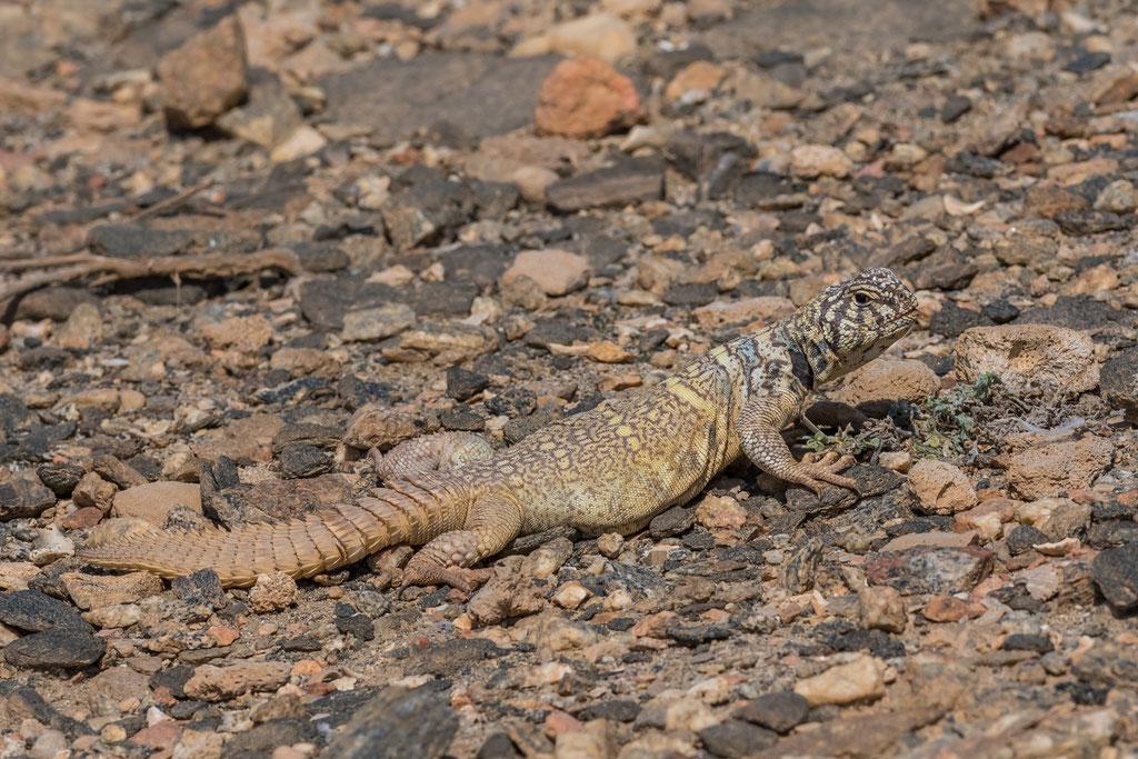 Uromastyx benti - Oman