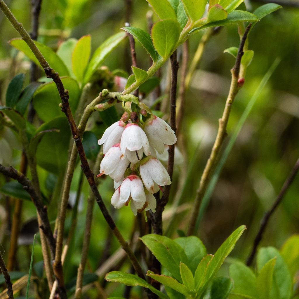 Preiselbeer-Blüten
