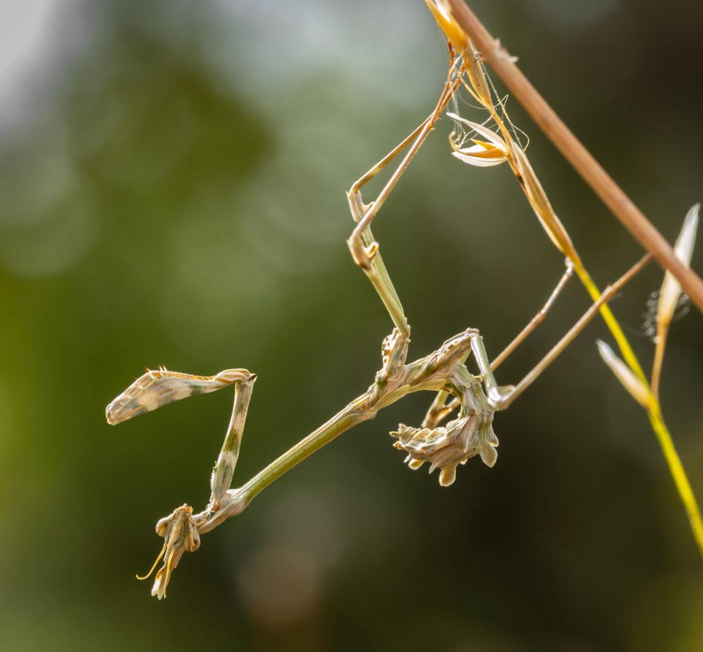 Haubenfangschrecke (Empusa fasciata)