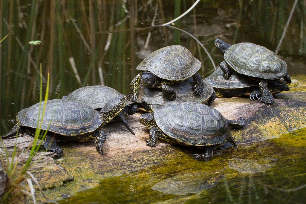 Europäische Sumpfschildkröte - Wildpark Bad Mergentheim