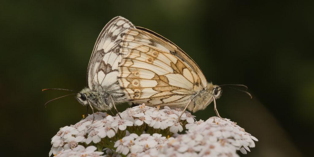 Schachbrettfalter - Rhön