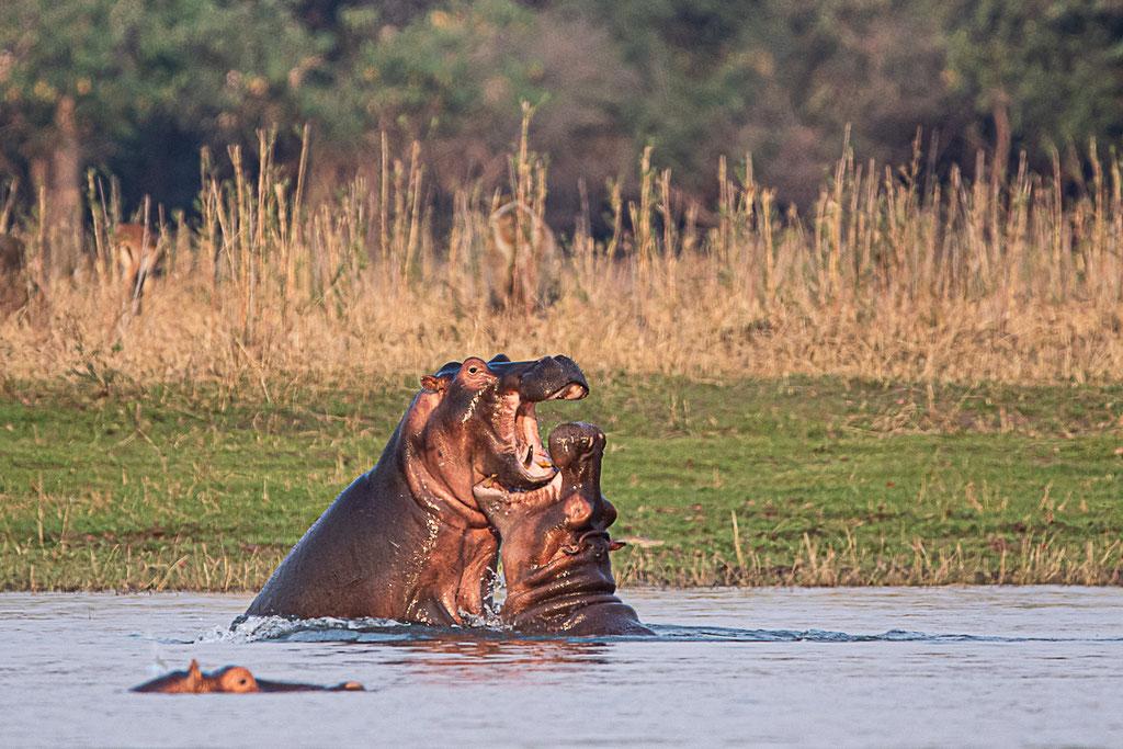 Flusspferde im Liwonde National Park, Malawi