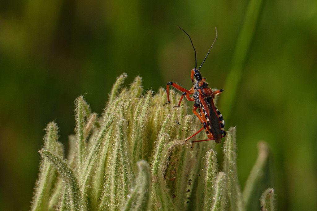 Rhynocoris punctiventris (eine Mordwanze) - Rumänien, Marcin-Gebirge