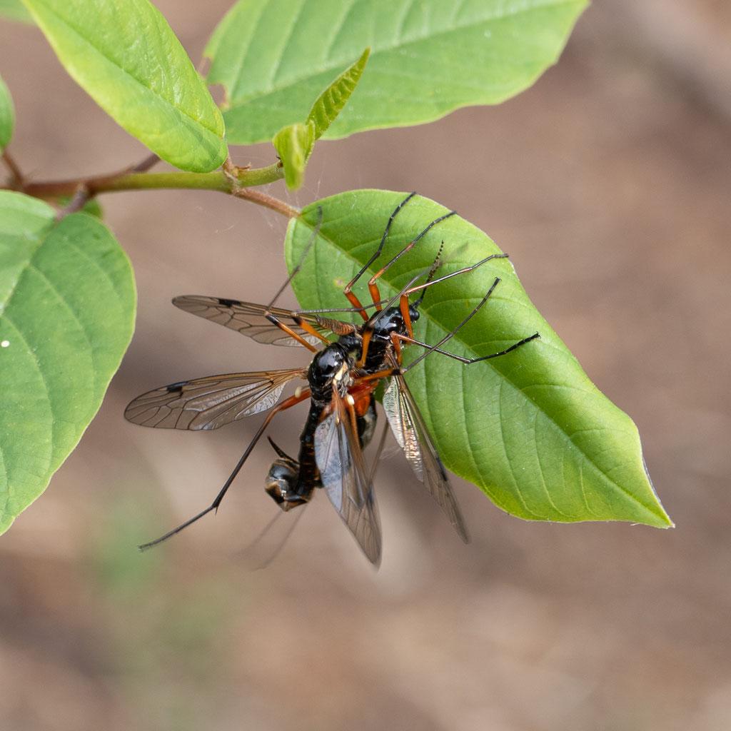 Schwarze Kammschnake - Tanyptera atrata
