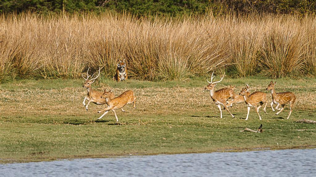 Axishirsche flüchten vor Tiger, Ranthambore National Park, Indien
