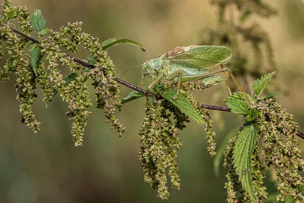 Zwitscherschrecke (Tettigonia cantans) - Almequelle, Brilon, NRW