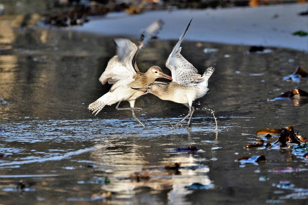 Kämpfende Pfuhlschnepfen