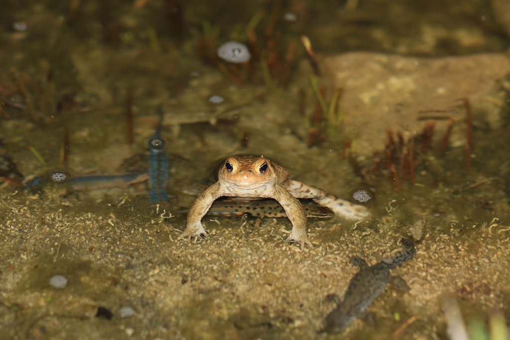 Erdkröte im Teich in Wanne-Eickel