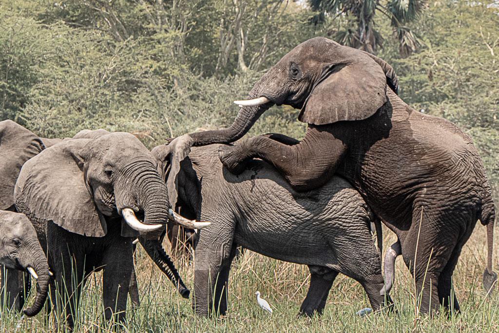 Früh übt sich....  Elefanten im Liwonde National Park, Malawi