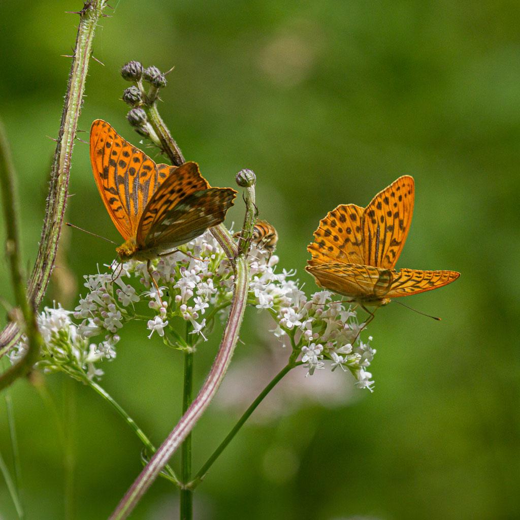 Kaisermantel (Argynnis paphia) - Almequelle, Brilon, NRW
