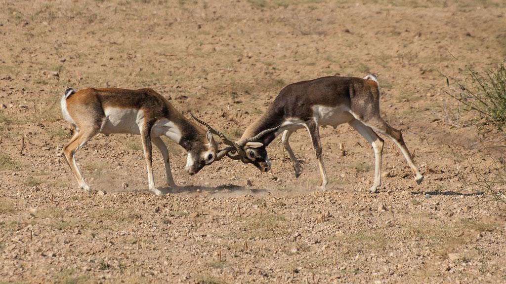 Hirschziegenantilopen - Indien, Rajasthan