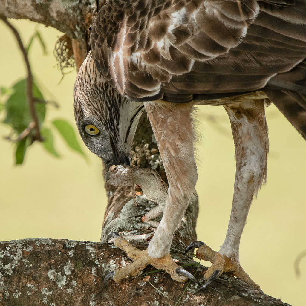 Sri-Lanka-Haubenadler verspeist Blutsaugeragame - Sri Lanka