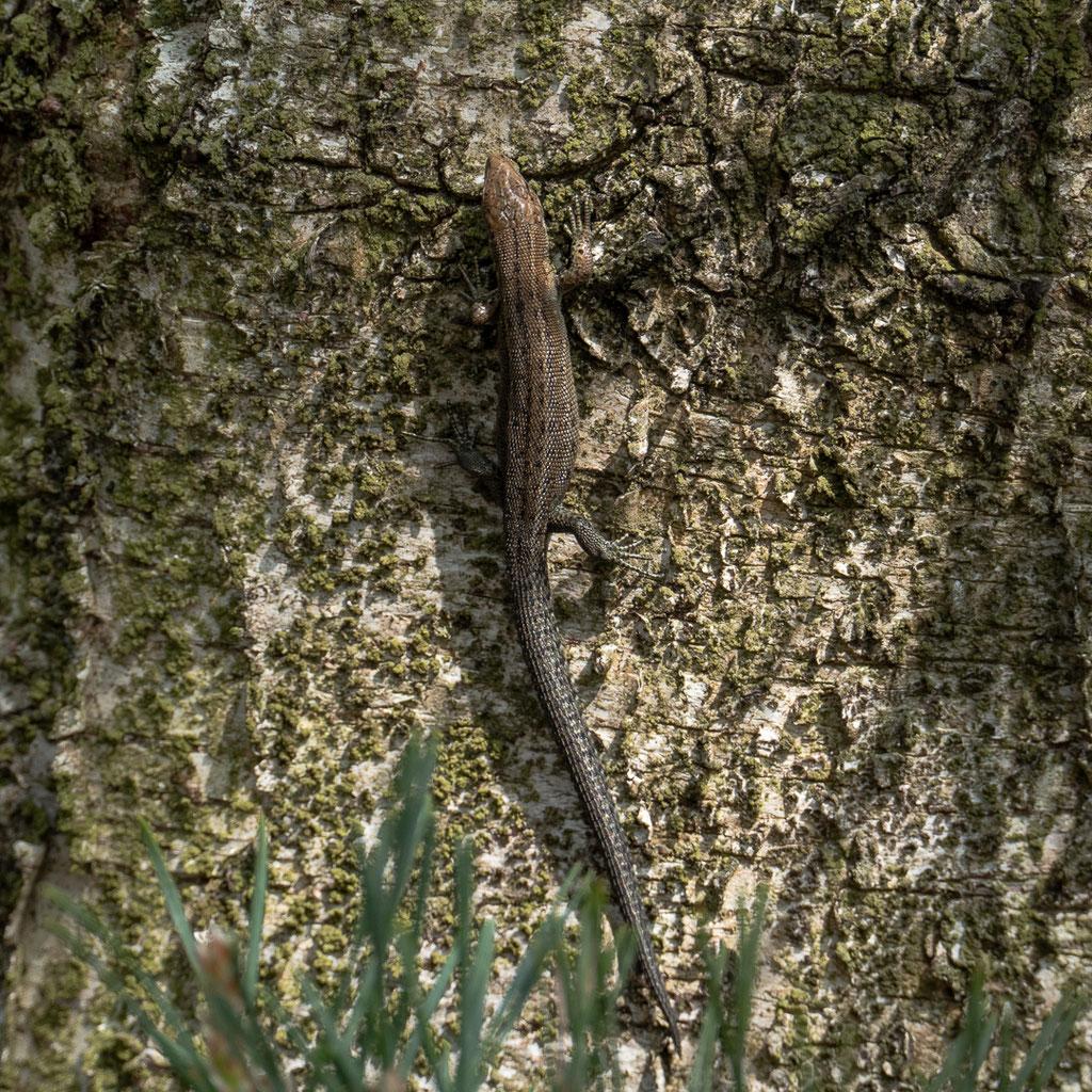 Waldeidechse - Zootoca vivipara