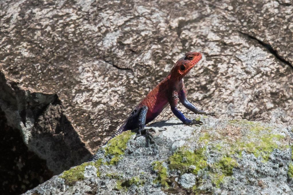 Agame (Agama mwanzae) - Kenia