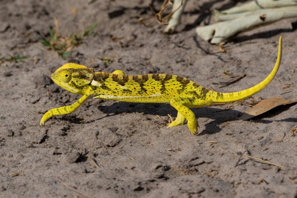 Chamäleon - Botswana