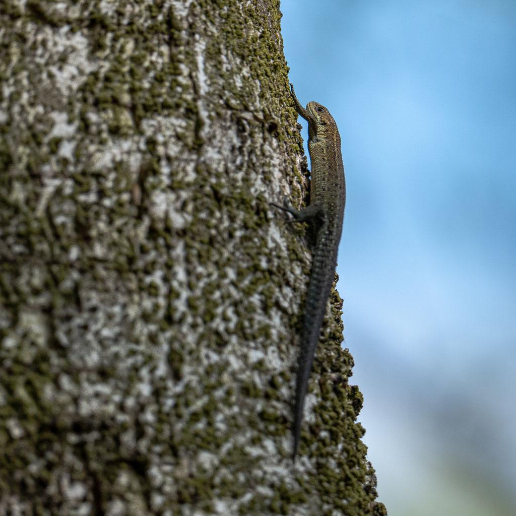 Waldeidechse - Zootoca vivipara)