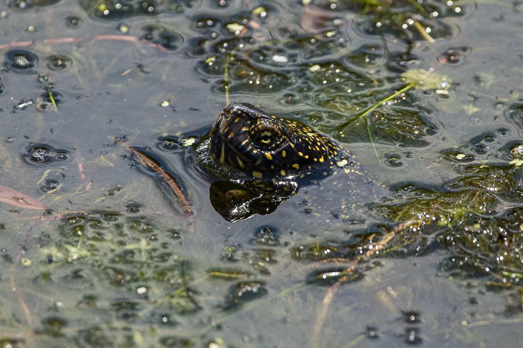 Europäische Sumpfschildkröte - Donaudelta, Rumänien