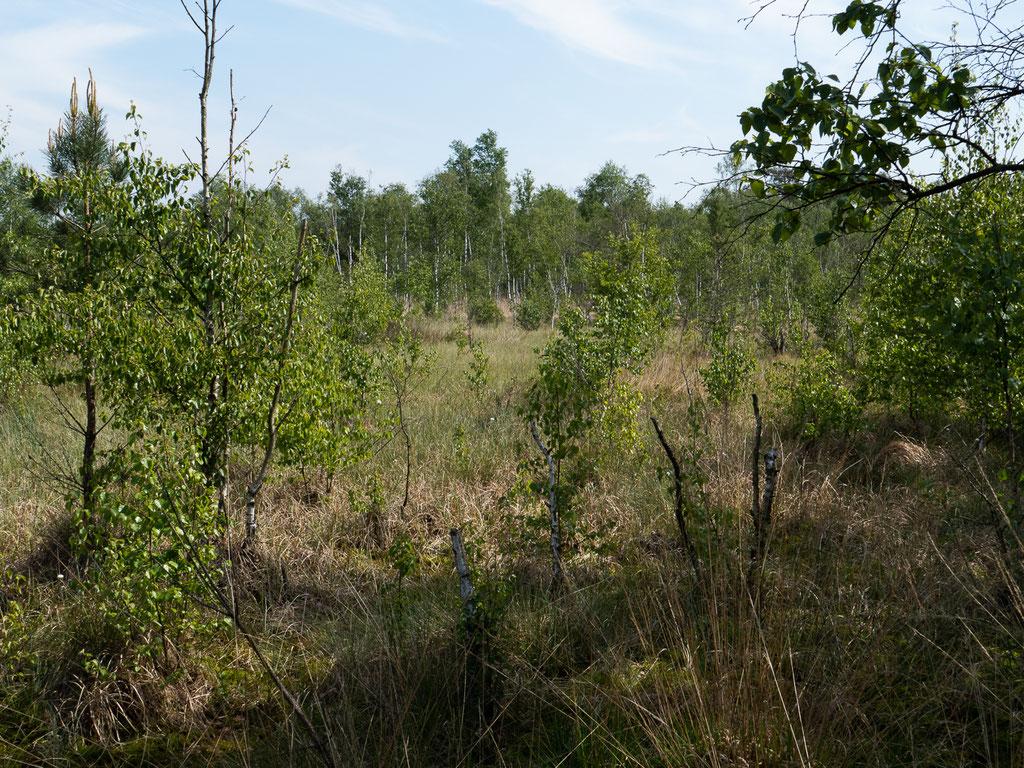 Moorfolgelandschaft mit Birkenvegetation