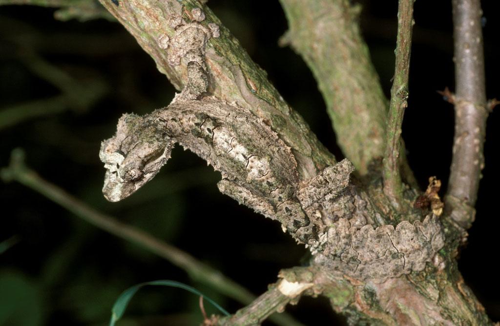 Uroplatus pietschmanni - Madagaskar