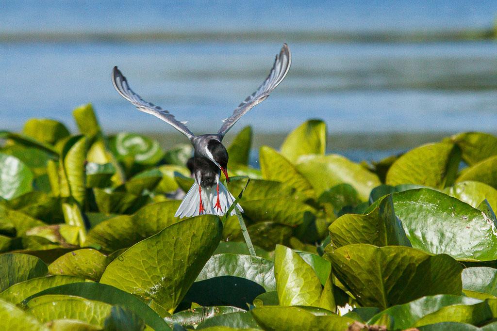 Weißbartseeschwalbe - Donaudelta, Rumänien