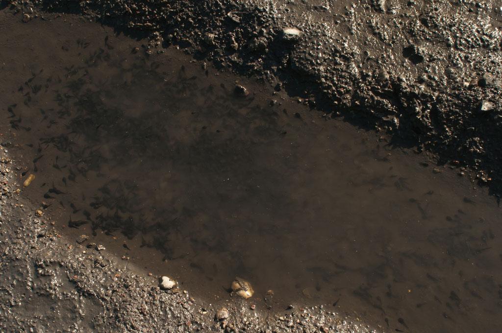 Kreuzkröten-Kaulquappen entwickeln sich sehr schnell. Die kleinen Kröten verlassen das Wasser meist schon bevor es austrocknet.