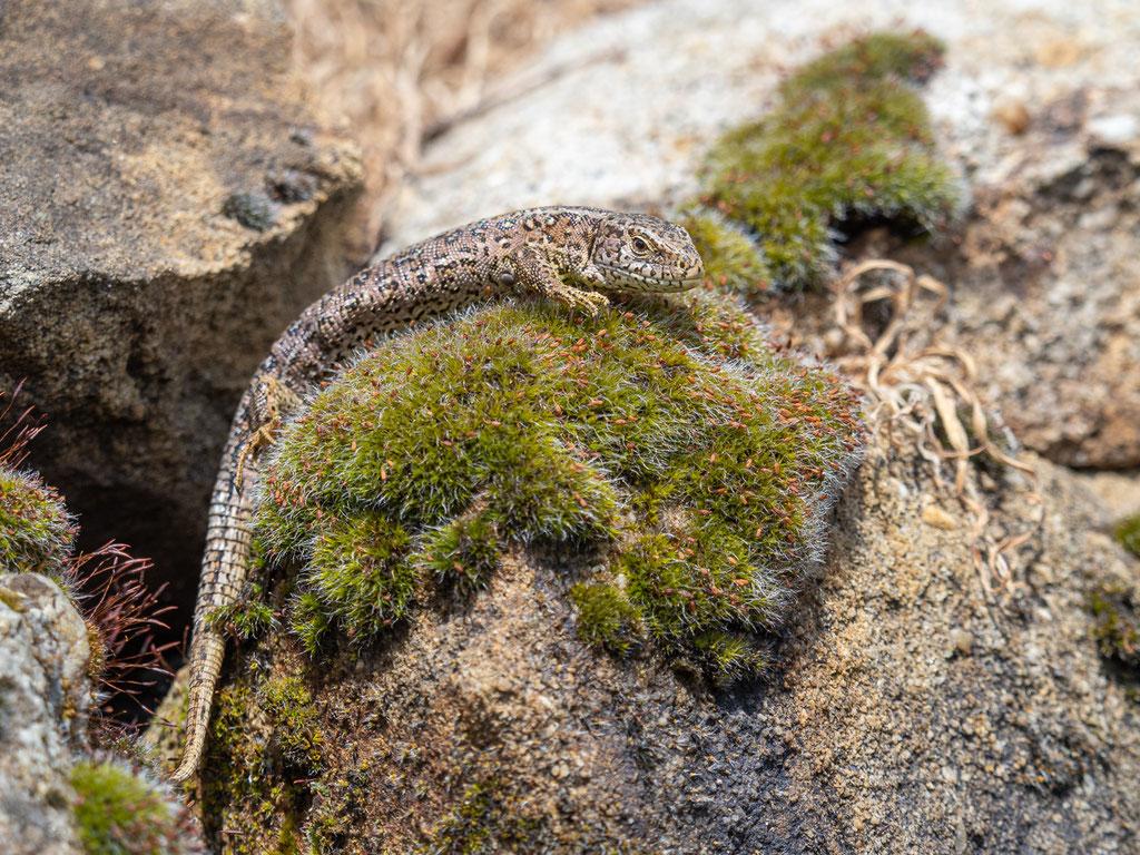 Zauneidechse (weibl.)