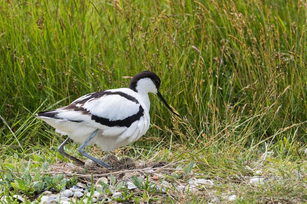 Säbelschnäbler am Gelege (Recurvirostra avosetta)