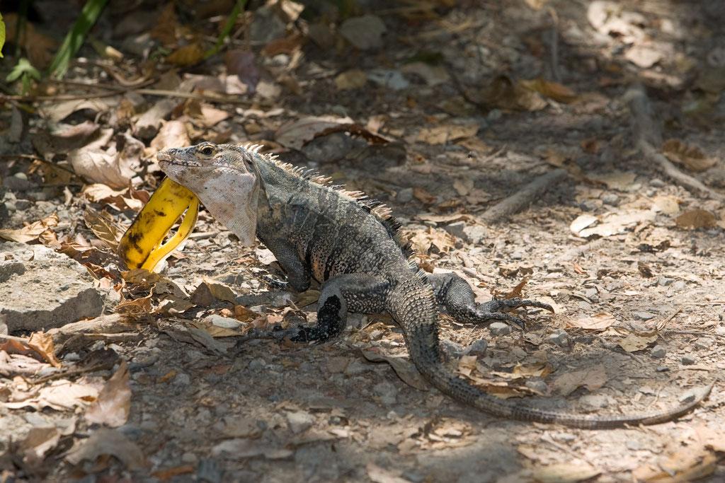 Ctenosaura similis - Costa Rica