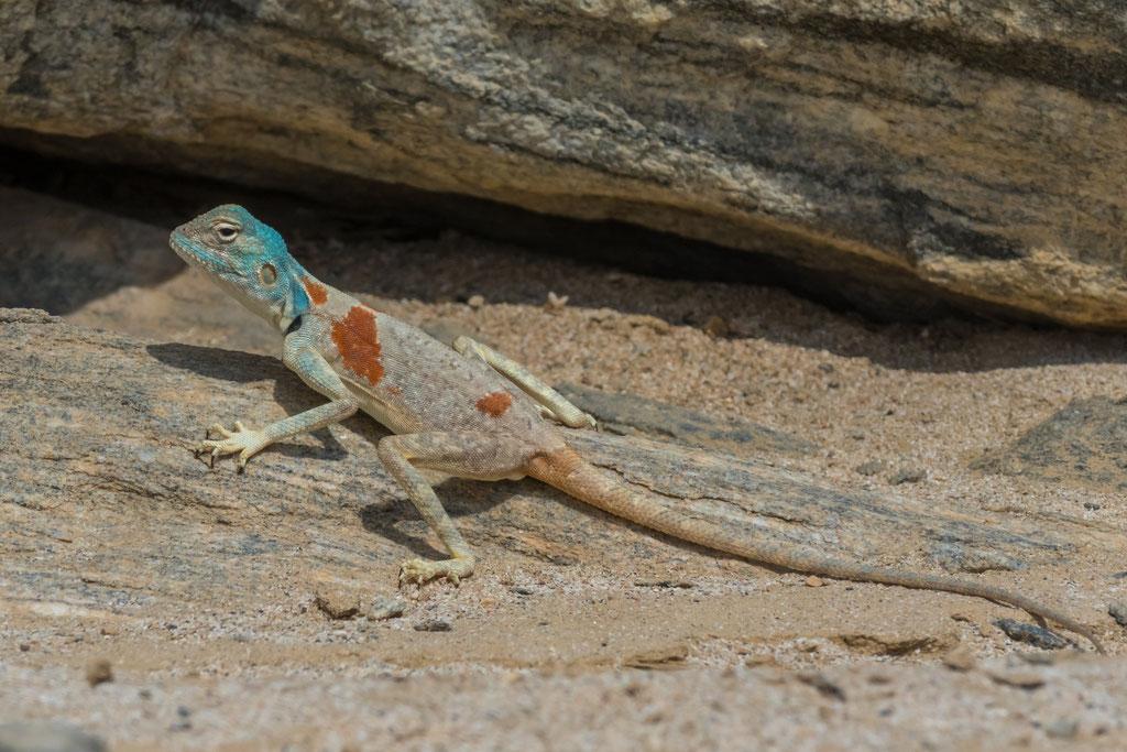Pseudotrapelus sinaitus - Oman