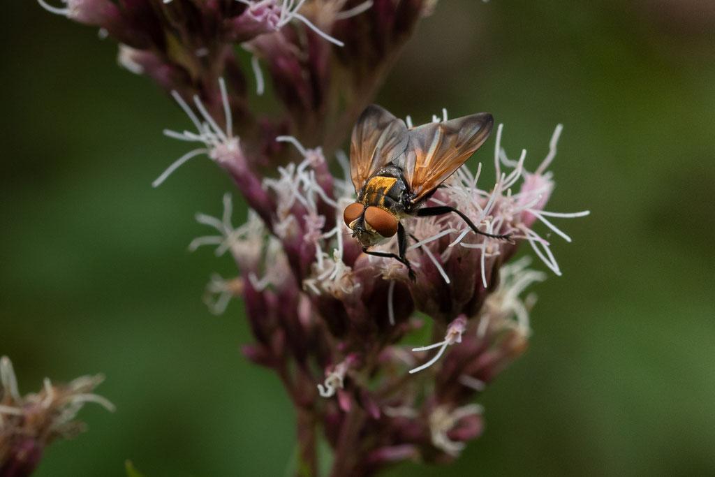 Goldschildfliege (Phasia aurigera) - Almequelle, Brilon, NRW