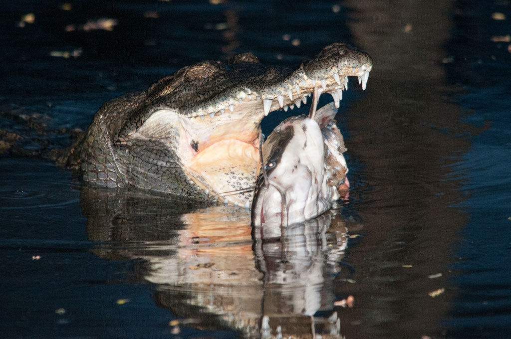Krokodil mit Beute, Kenia