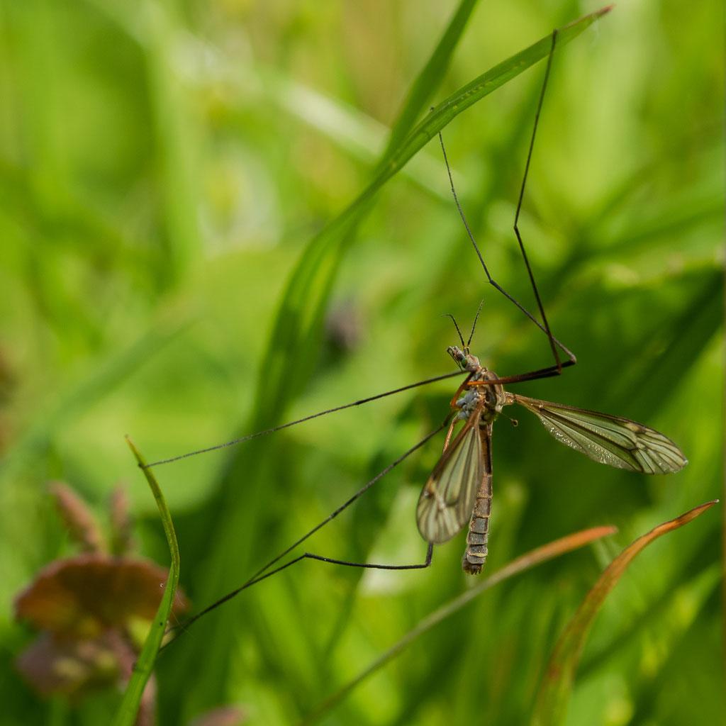 Frühlingsschnake - Tipula vernalis