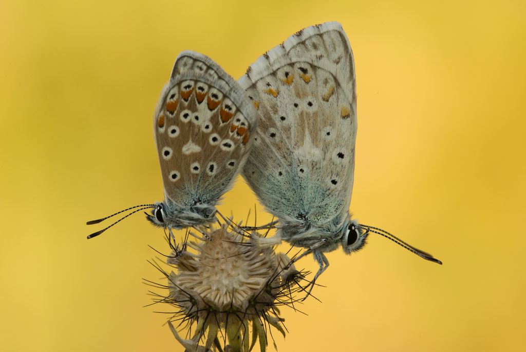 Himmelblauer Bläuling - Rhön