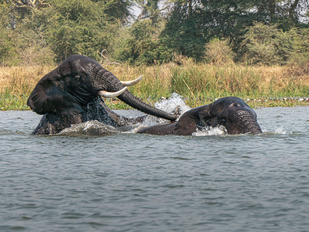 Elefanten im Shire River - Liwonde National Park, Malawi