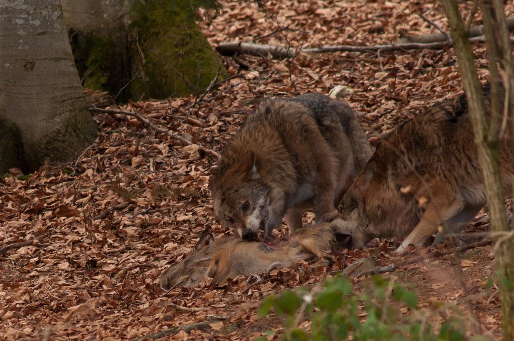 Wolf - Nationalpark Bayerischer Wald