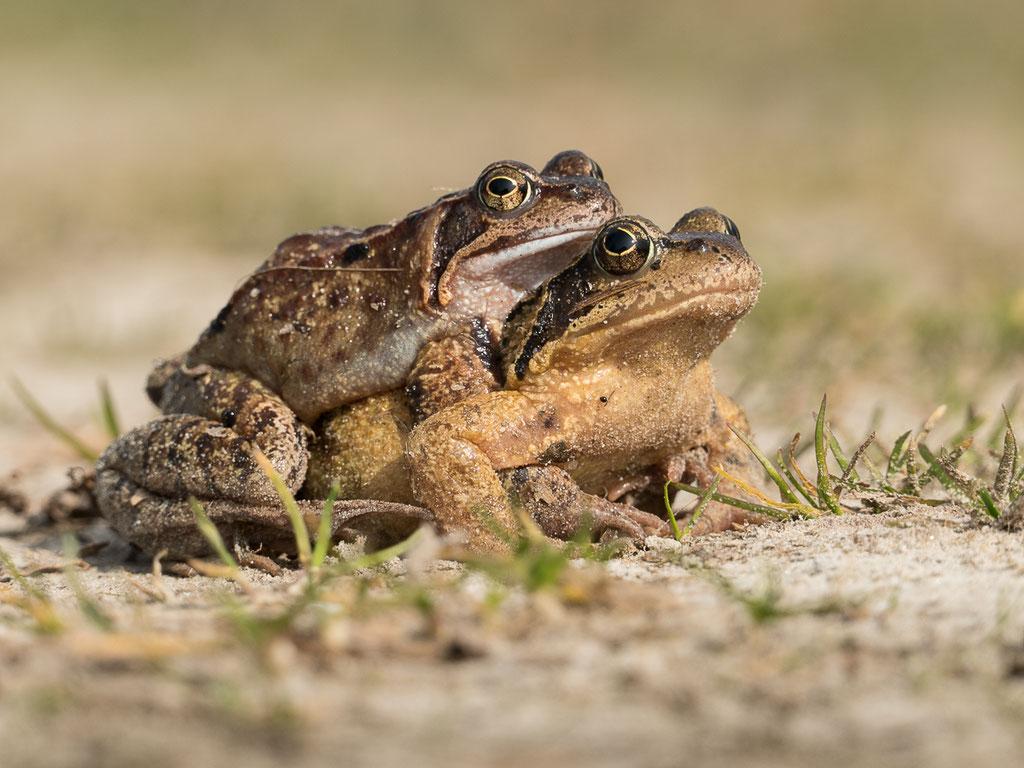 Erdkröten - National Park De Groote Peel (NL)