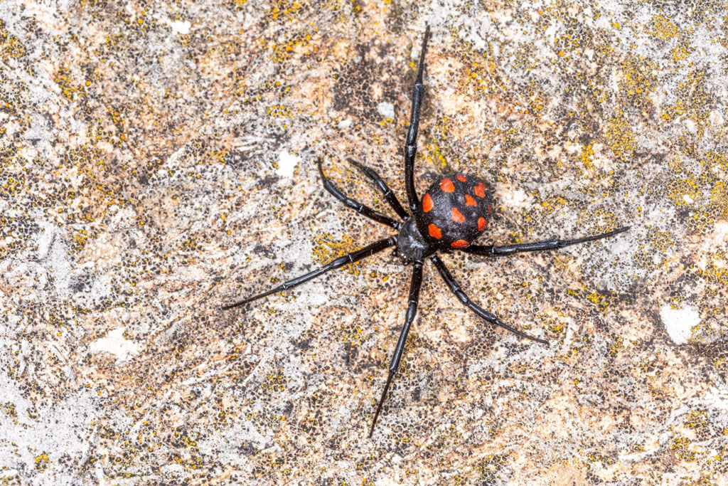 Europäische Schwarze Witwe (Latrodectus tredecimguttatus)